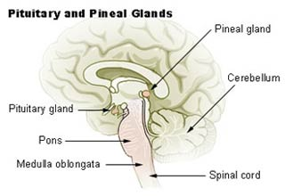 The location of the pineal and pituitary glands